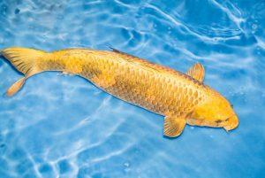 nằm mơ thấy bắt cá lóc