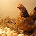 Giải đáp mơ thấy trứng gà có ý nghĩa gì và mơ thấy trứng gà đánh con gì?
