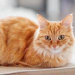 Nằm mơ thấy mèo vàng đem đến vận tốt hay xấu?