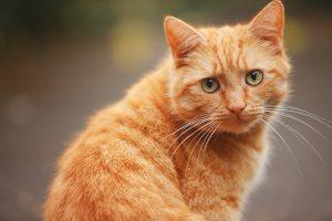 Nằm mơ thấy mèo vàng